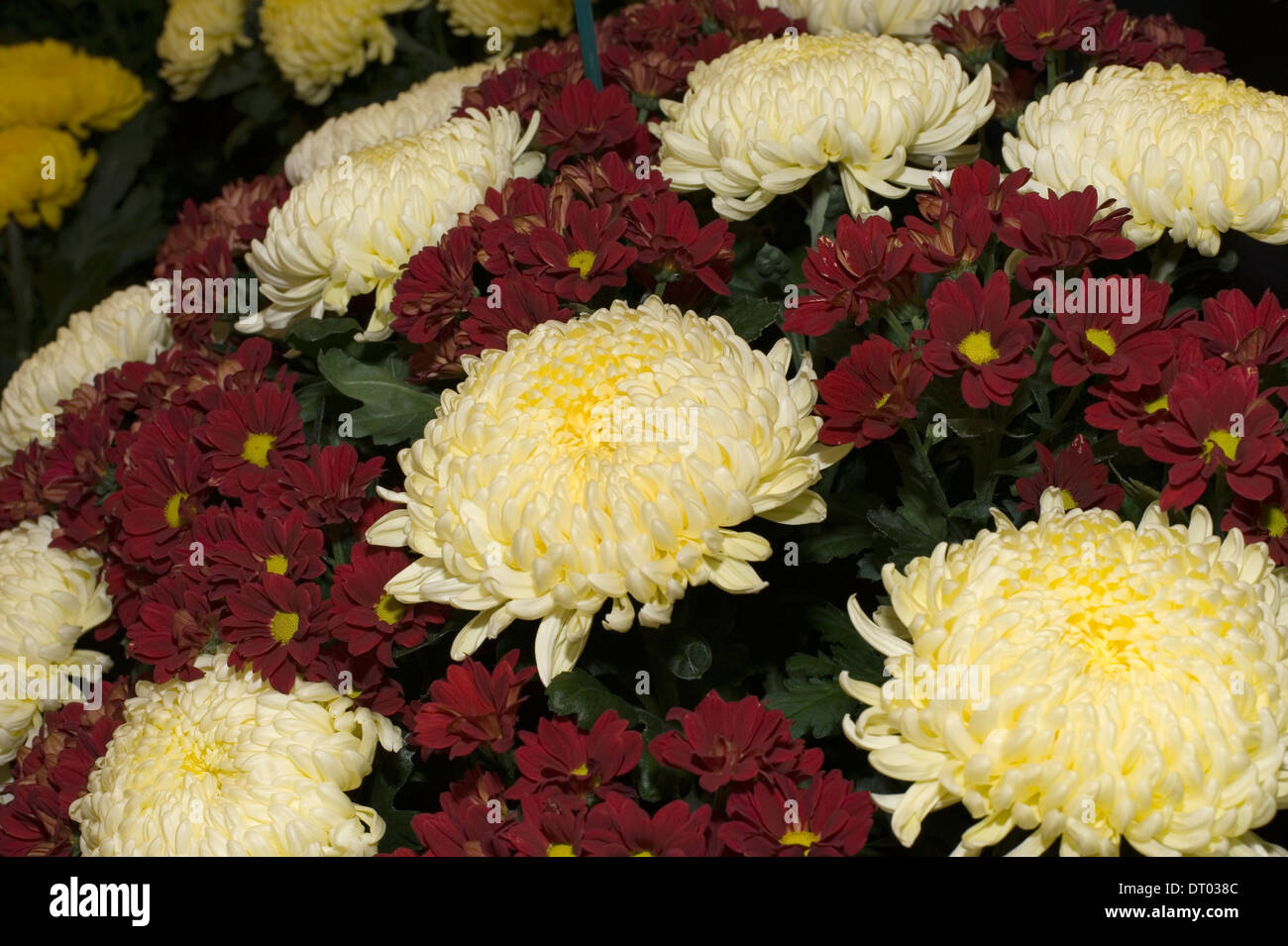 A colourful display of chrysanthemums in the Horticultural Marquee at the Edenbridge and Oxted Agricultural Show  in Surrey - Stock Image