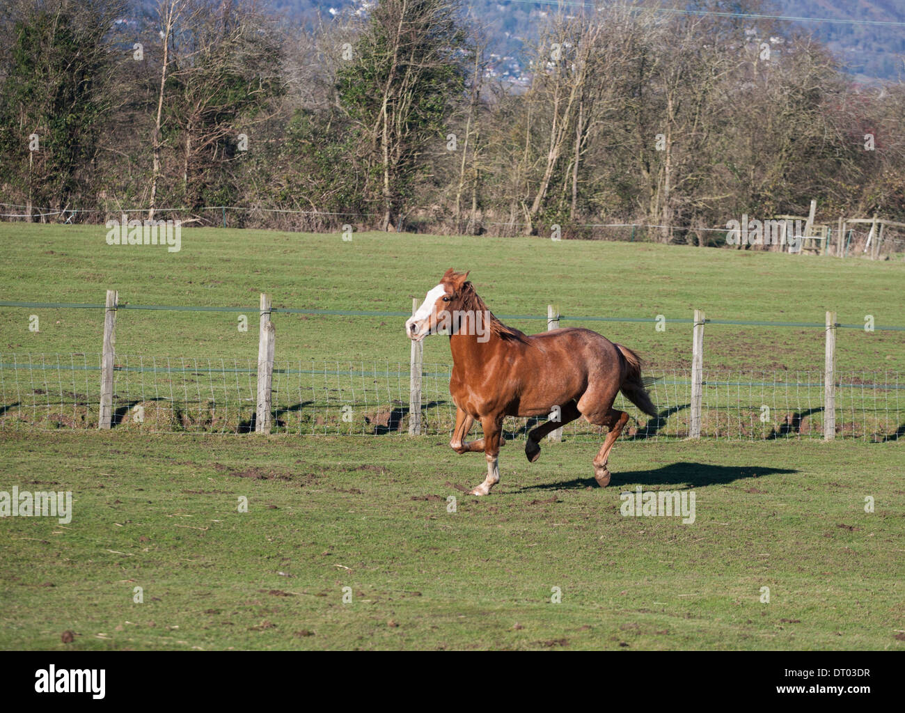 Brown Horse running free in field on a sunny day - Stock Image