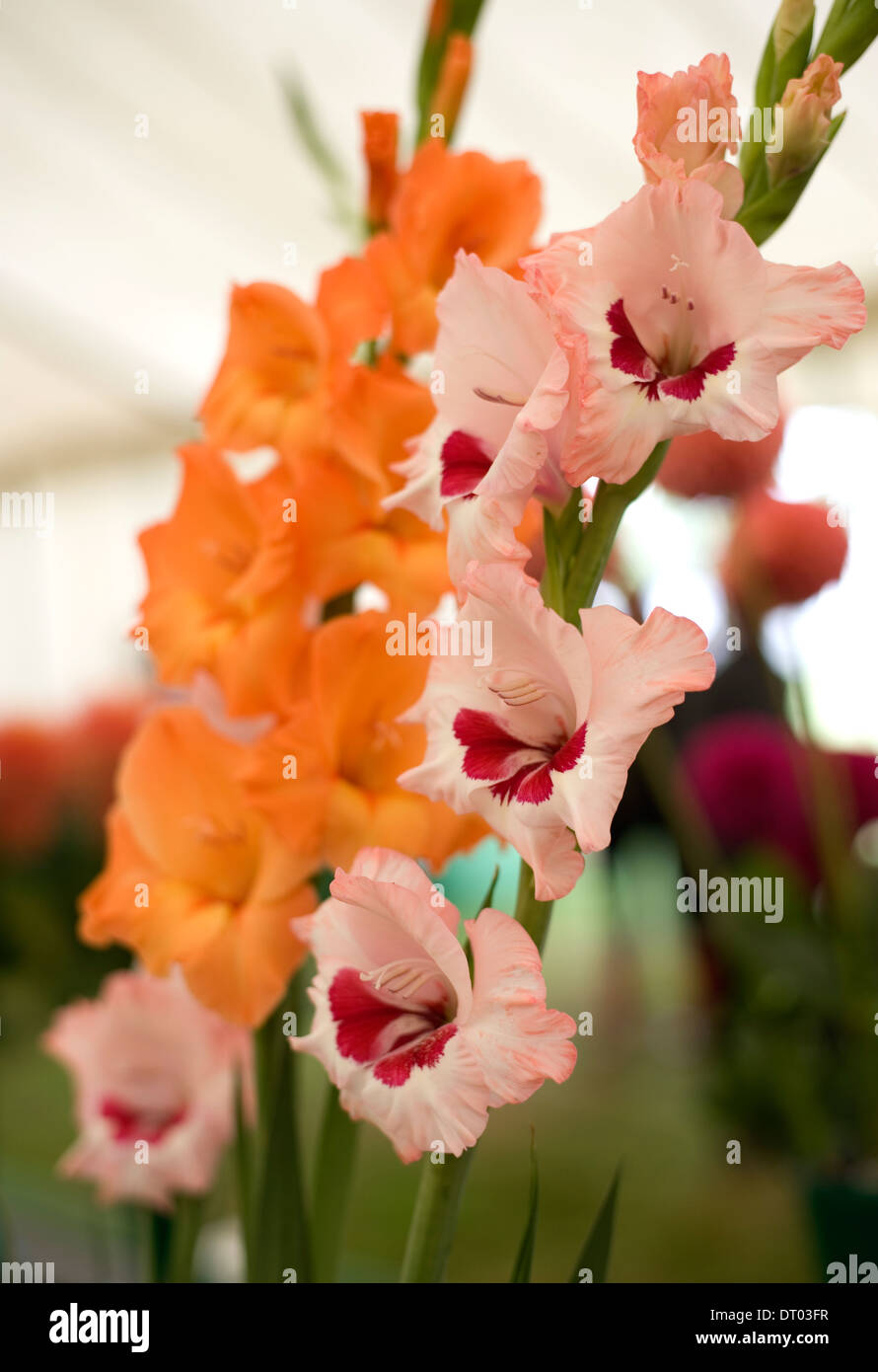 What to do with children of gladioli in the fall - recommendations from experienced gardeners 91