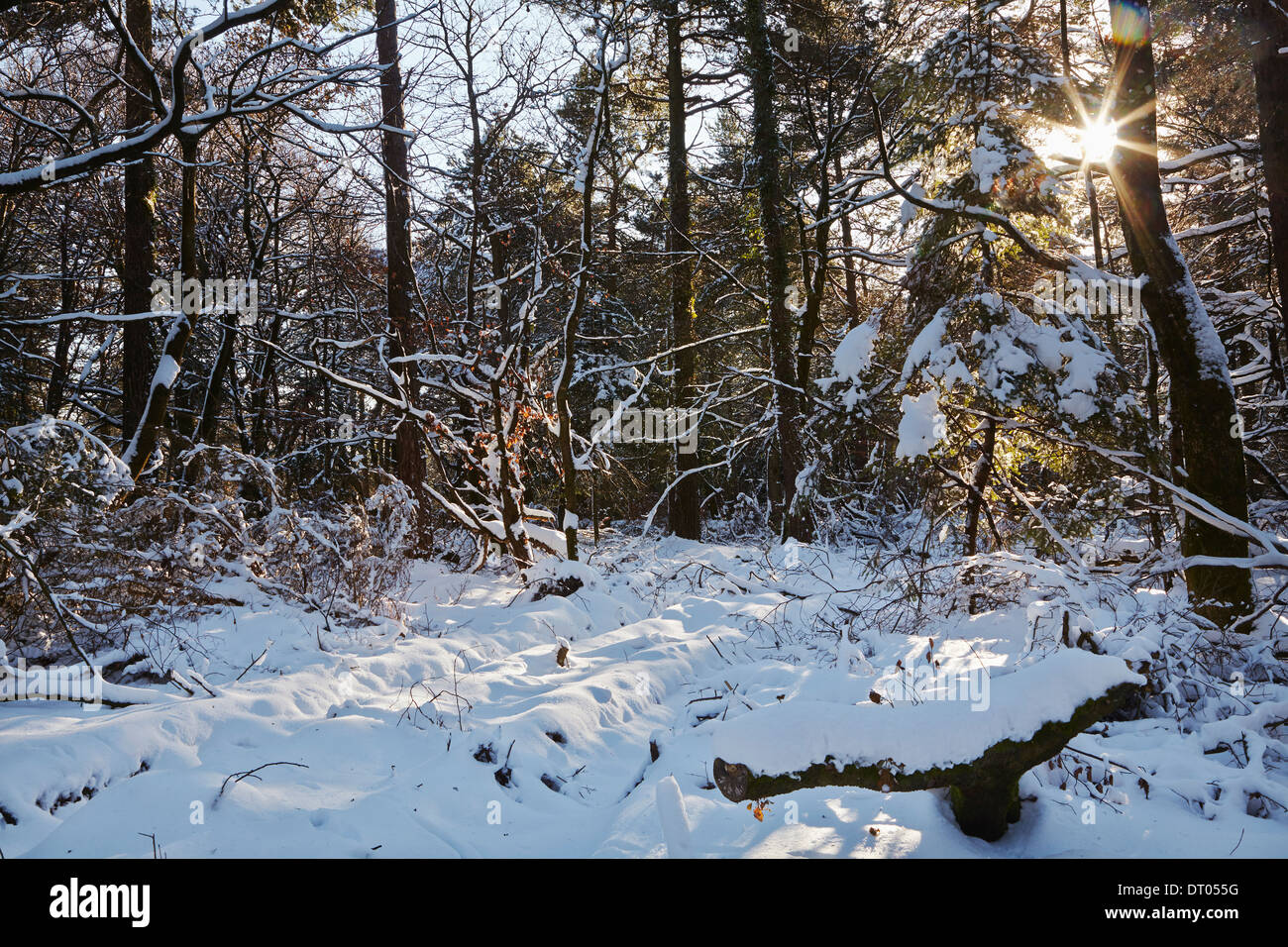 A conifer forest in deep snow, in the Haldon Hills near Mamhead, near Exeter, Devon, Great Britain. - Stock Image