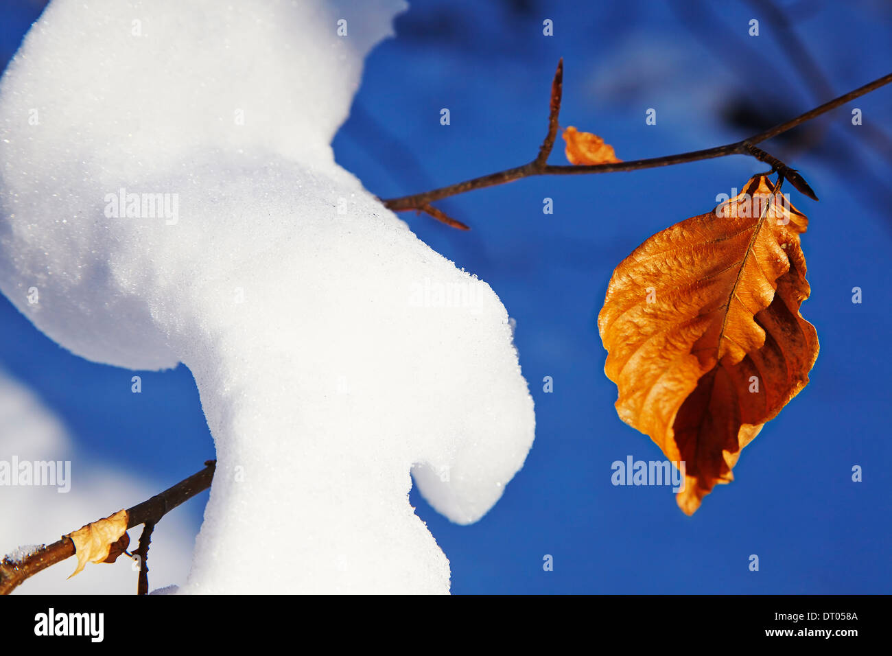Branches of a young beech tree in deep snow, in the Haldon Hills near Mamhead, near Exeter, Devon, Great Britain. - Stock Image