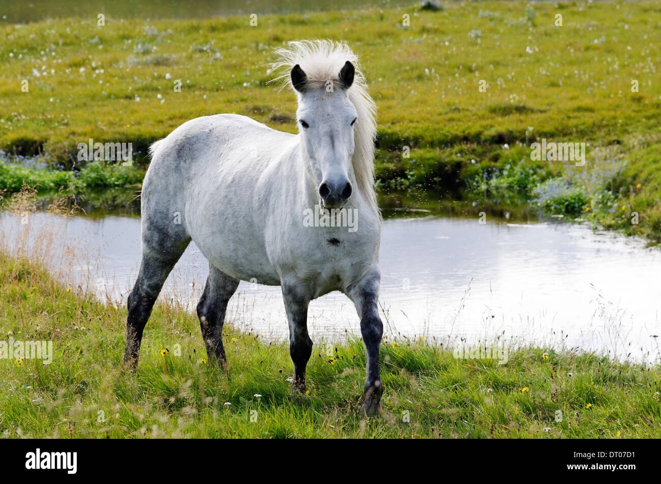 Equus ferus caballus, Icelandic horse, Iceland - Stock Image