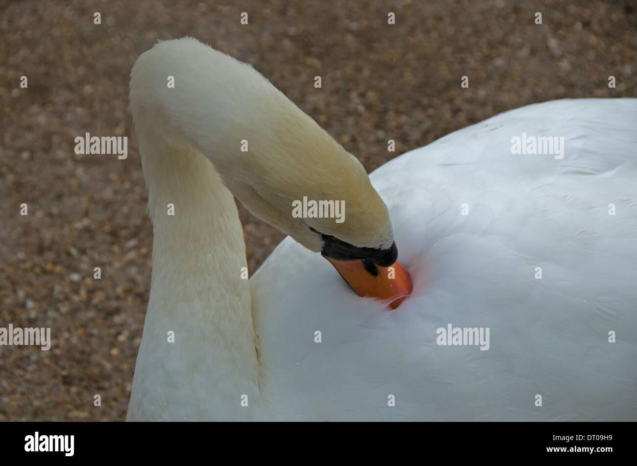 Mute swan preening at Slimbridge, England - Stock Image