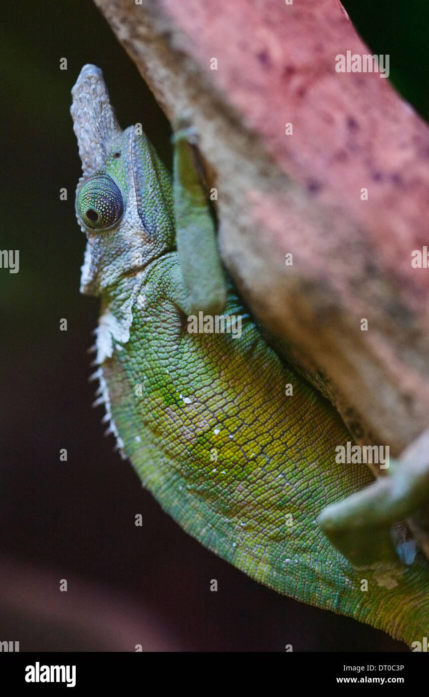 Fischers chameleon kinyongia fischeri stock photo 66392362 alamy fischers chameleon kinyongia fischeri thecheapjerseys Images