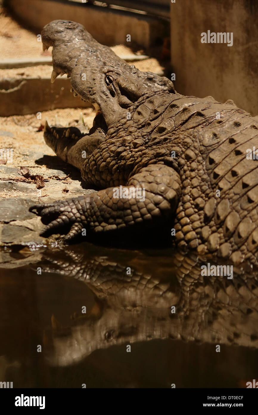 Crocodiles (subfamily Crocodylinae) or true crocodiles are large aquatic reptiles Stock Photo