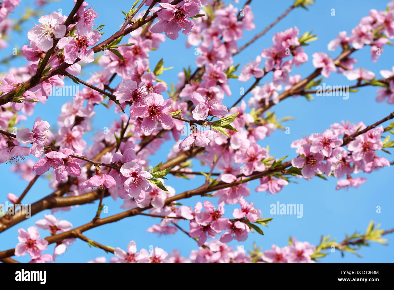 Some peach blossoms on the branch during spring blooming - Stock Image
