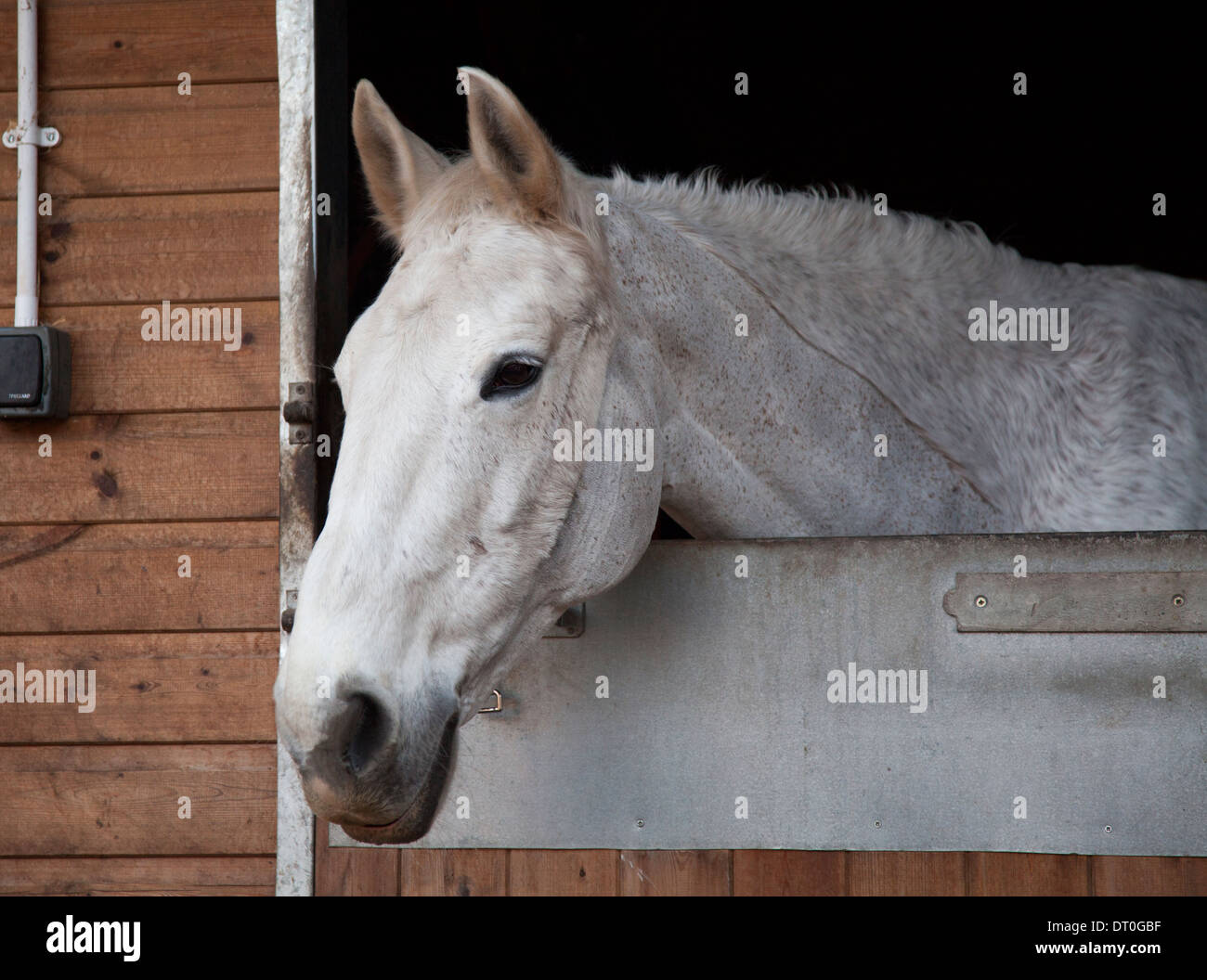 White Horse In Stable Stock Photo Alamy