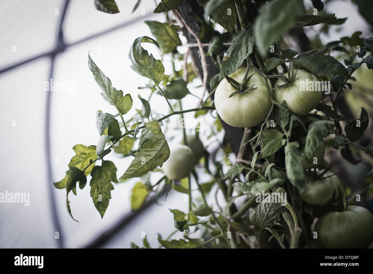 Woodstock New York USA Tomato plants bearing fruit Growing in polytunnel - Stock Image