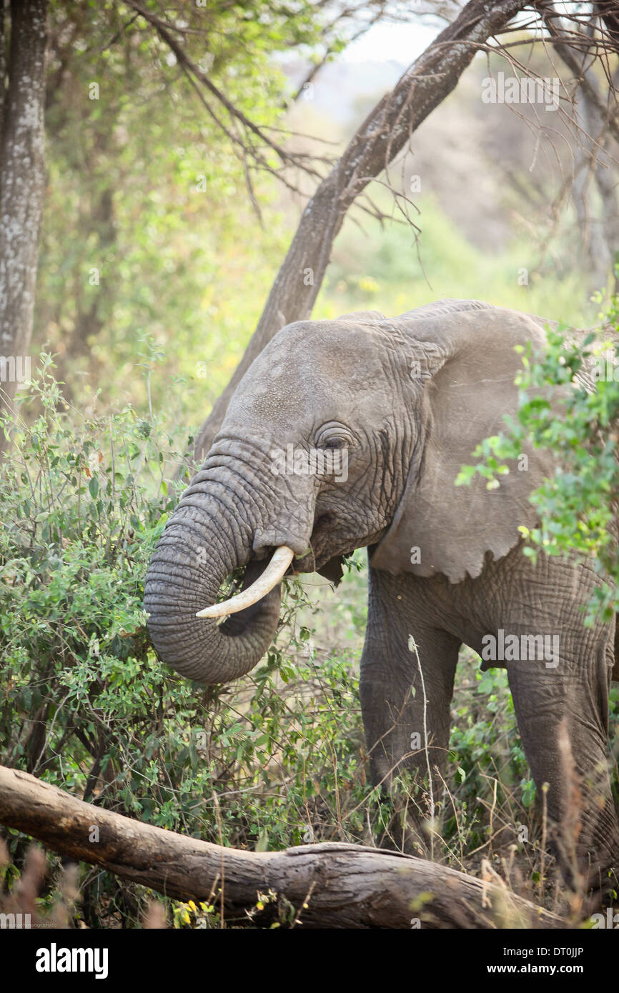 an elephant eating in Lake Manyara National Park, Tanzania Africa - Stock Image
