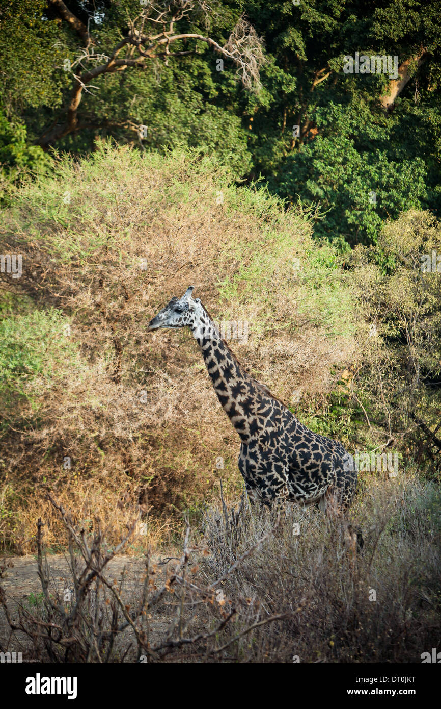 a Masai giraffe in Lake Manyara National Park, Tanzania Africa - Stock Image