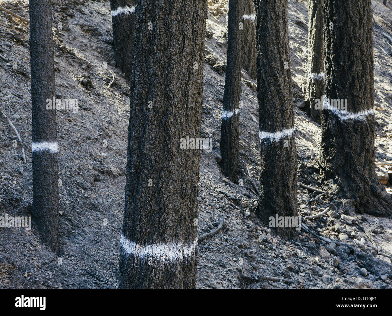 Washington state USA Trees burned by forest fire Taylor Bridge fire - Stock Image