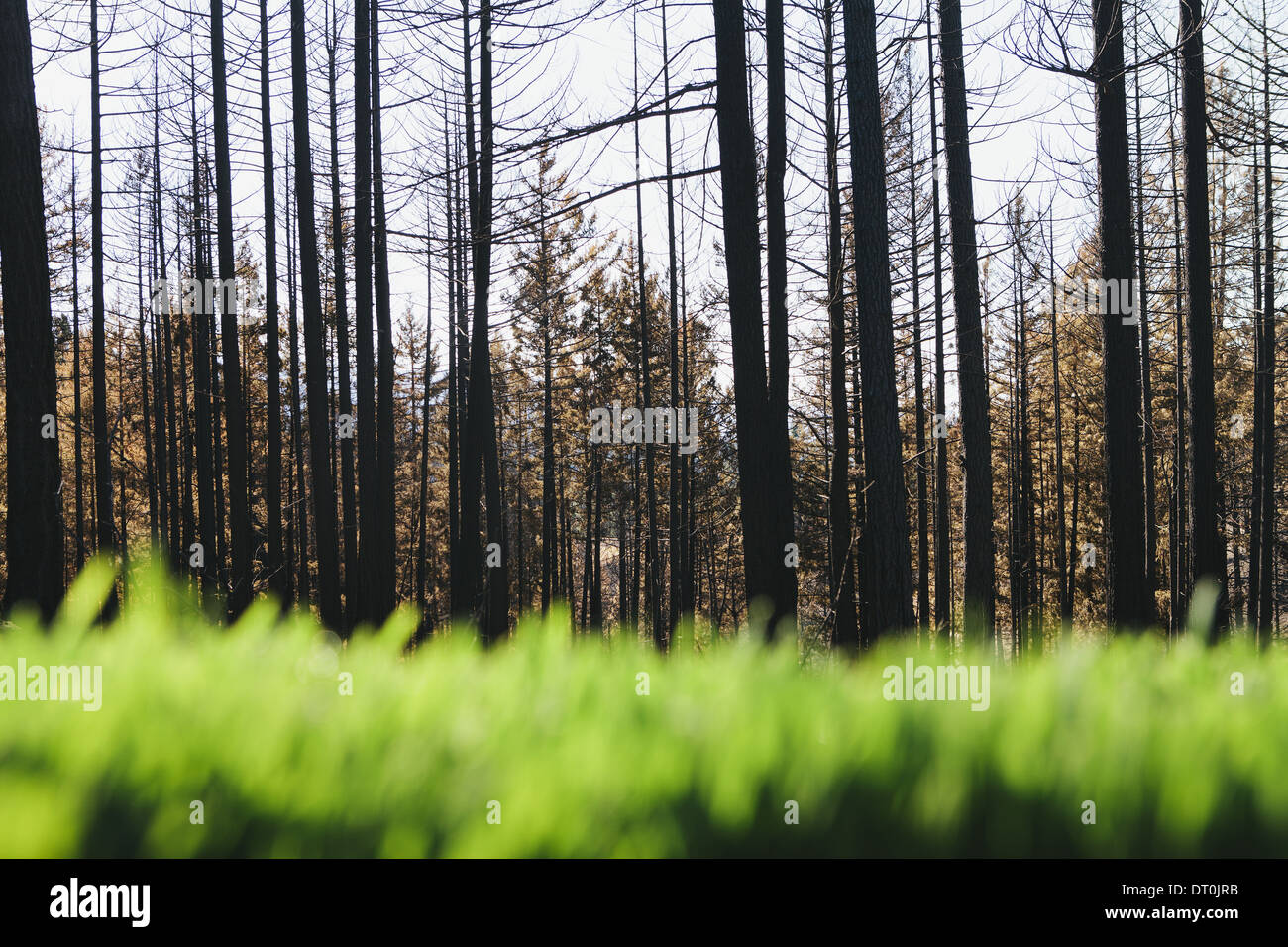 Washington state USA Lush green grass recently burned forest - Stock Image