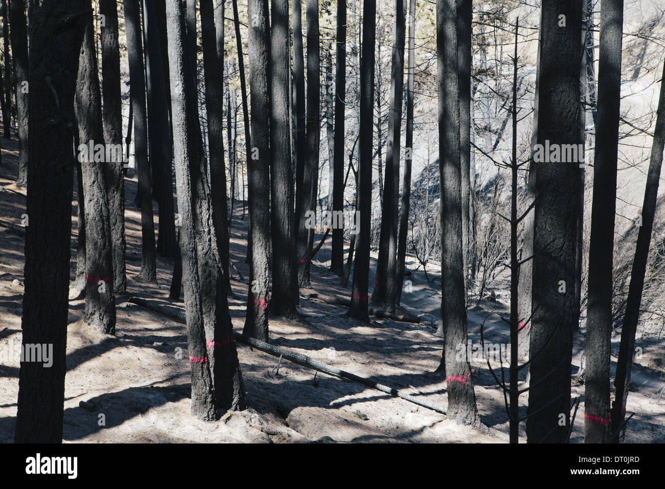 Washington state USA burnt trees for cutting Taylor Bridge forest fire - Stock Image