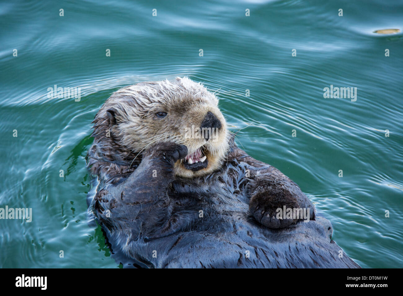 Cute Sea Otter, Enhydra lutris, lying back in the water and yawning with paw to his face, Seldovia Harbor, Alaska, Stock Photo