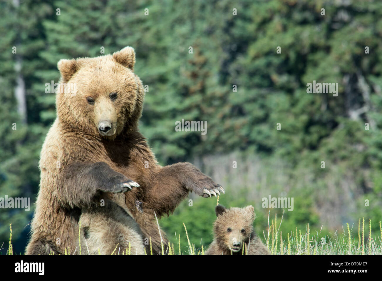 Grizzly Bear Sow, Ursus arctos, with two Spring Cubs, one nursing as she stands, Lake Clark National Park, Alaska, USA - Stock Image