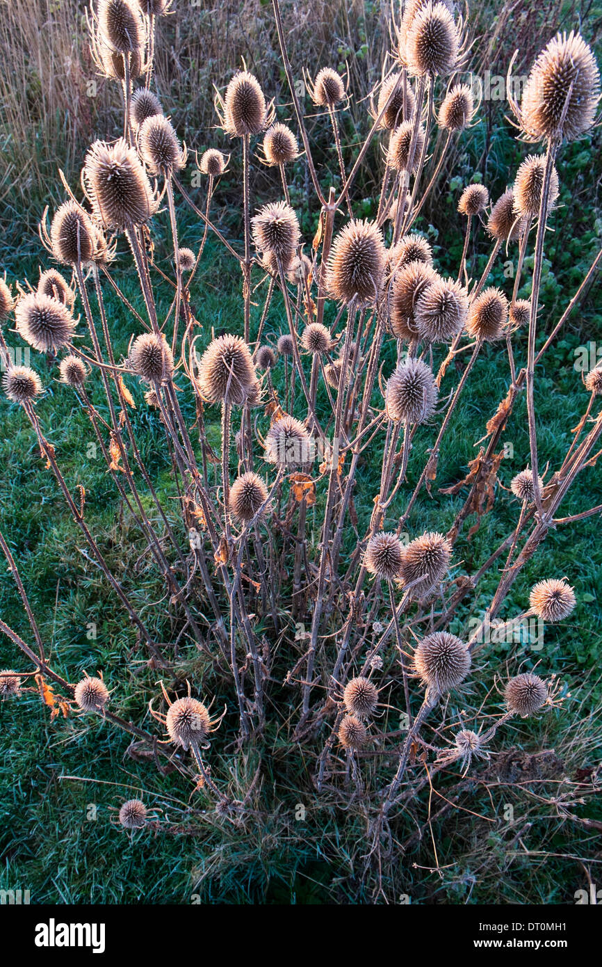 Teasel, Dipsacus, frosty seed heads - Stock Image