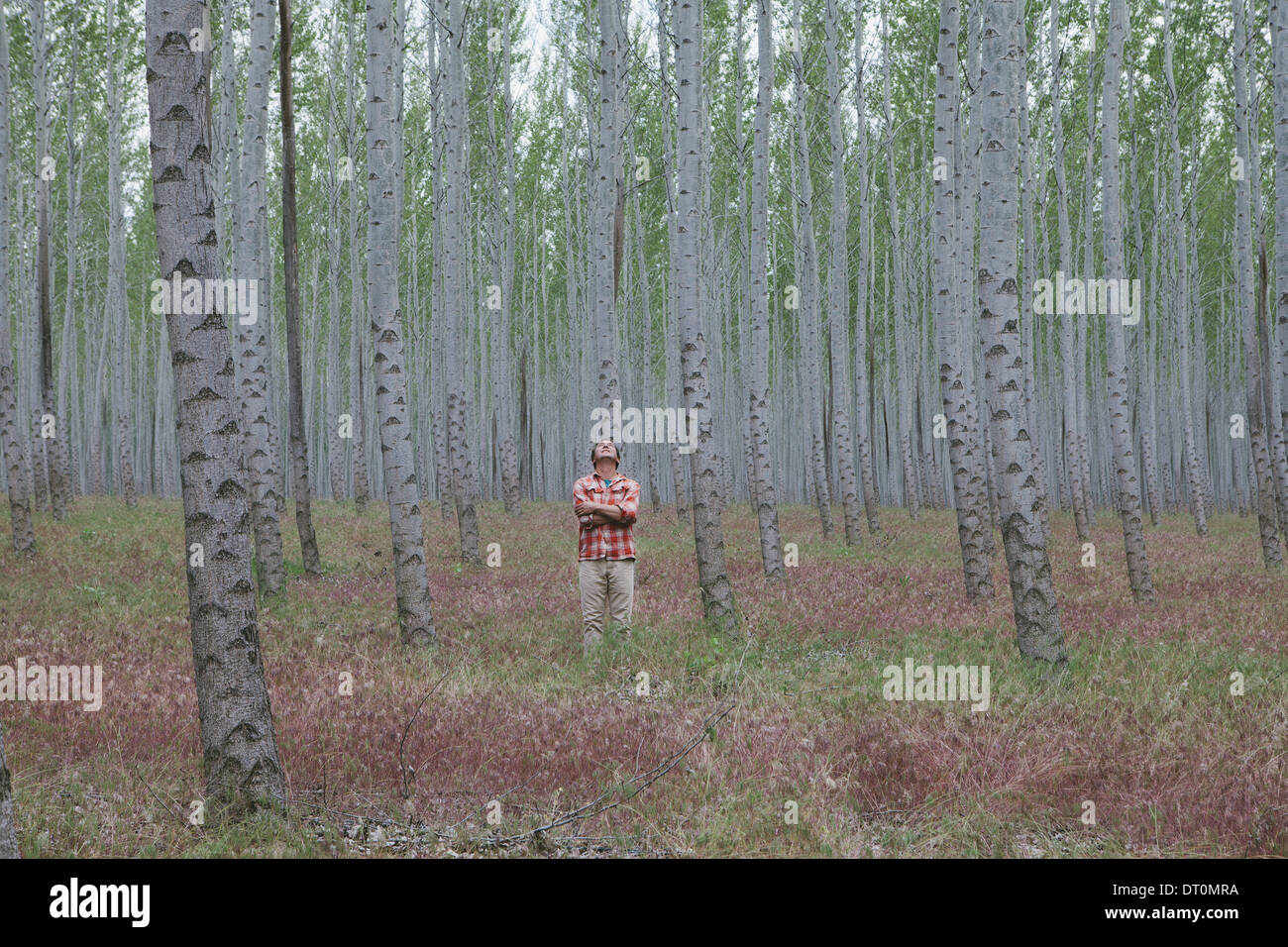 Oregon USA man in forest of poplar trees Oregon USA - Stock Image