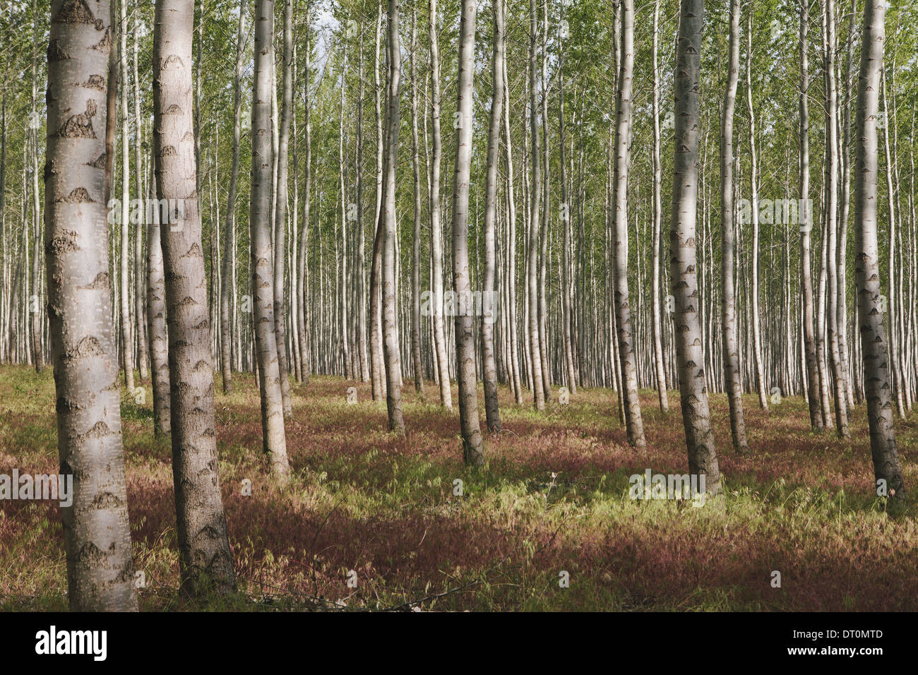 Oregon USA poplar tree plantation or forest in Oregon USA - Stock Image