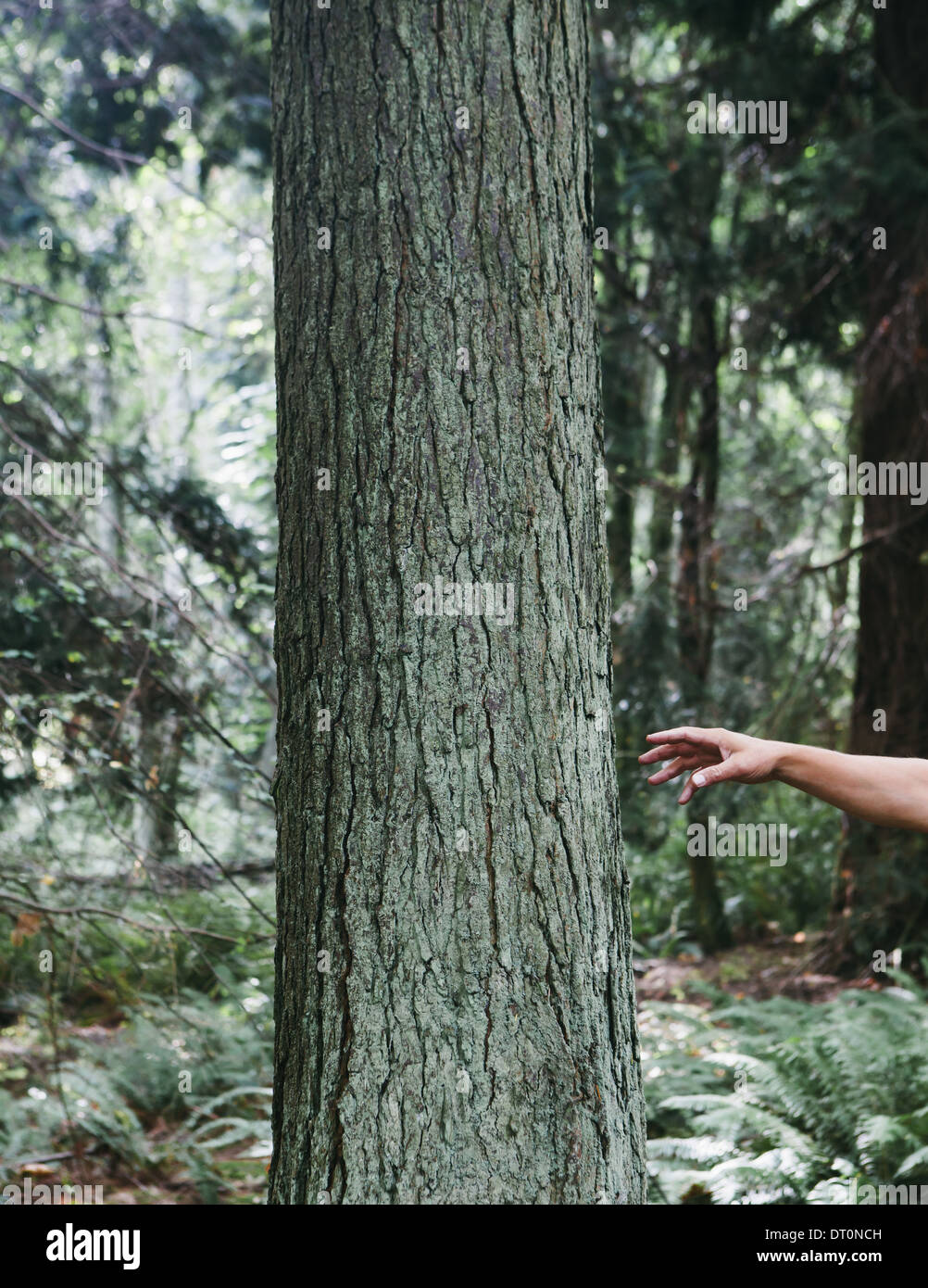 Seattle Washington USA Man reaching for tree in lush green forest - Stock Image