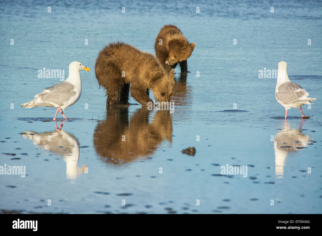 Two Grizzly Bear Spring Cubs, Ursus arctos, clamming in the tidal flats of the Cook Inlet, Alaska, USA, as Two Gulls Stock Photo