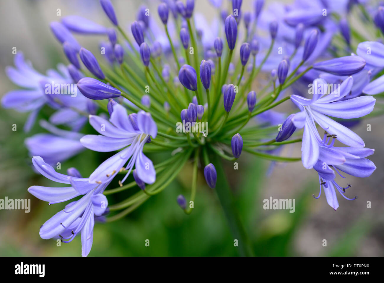 agapanthus giganteus ardernei blue lilac flower flowerhead flowers flowering blossoming cluster wildlife friendly stripes - Stock Image