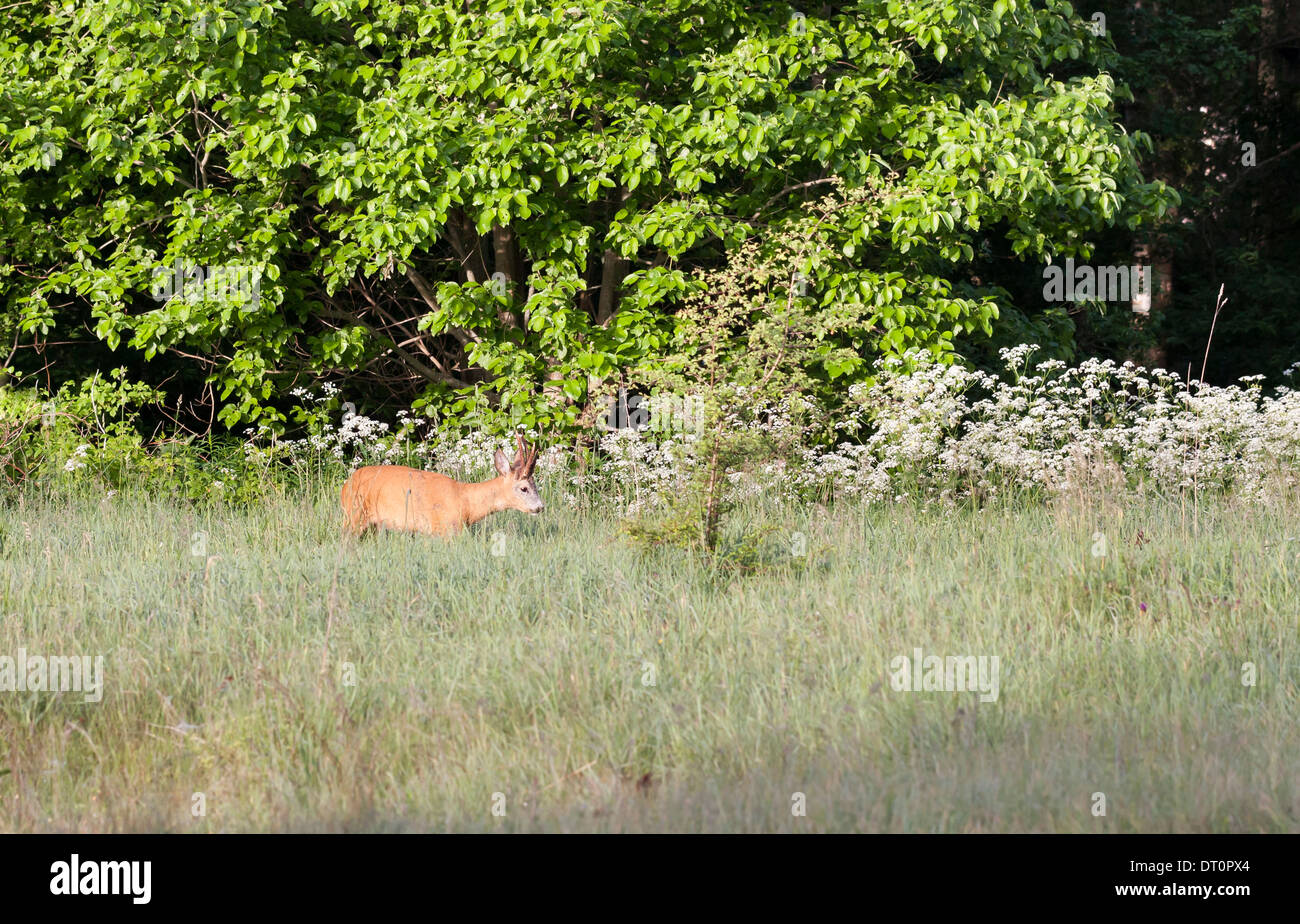 Roebuck on hayfield near green forest - Stock Image