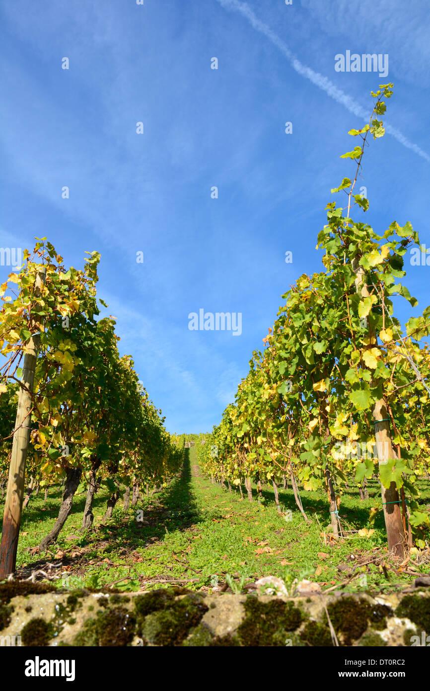 vineyard Moselle Germany Weinberg blauer Himmel an der Mosel mit Schiefermauer an einem sonnigen Tag - Stock Image