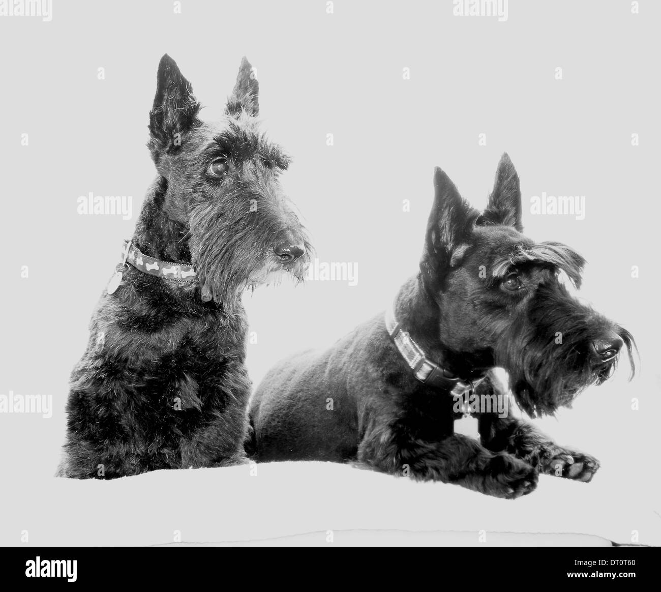 Two Scottish Terriers - Stock Image