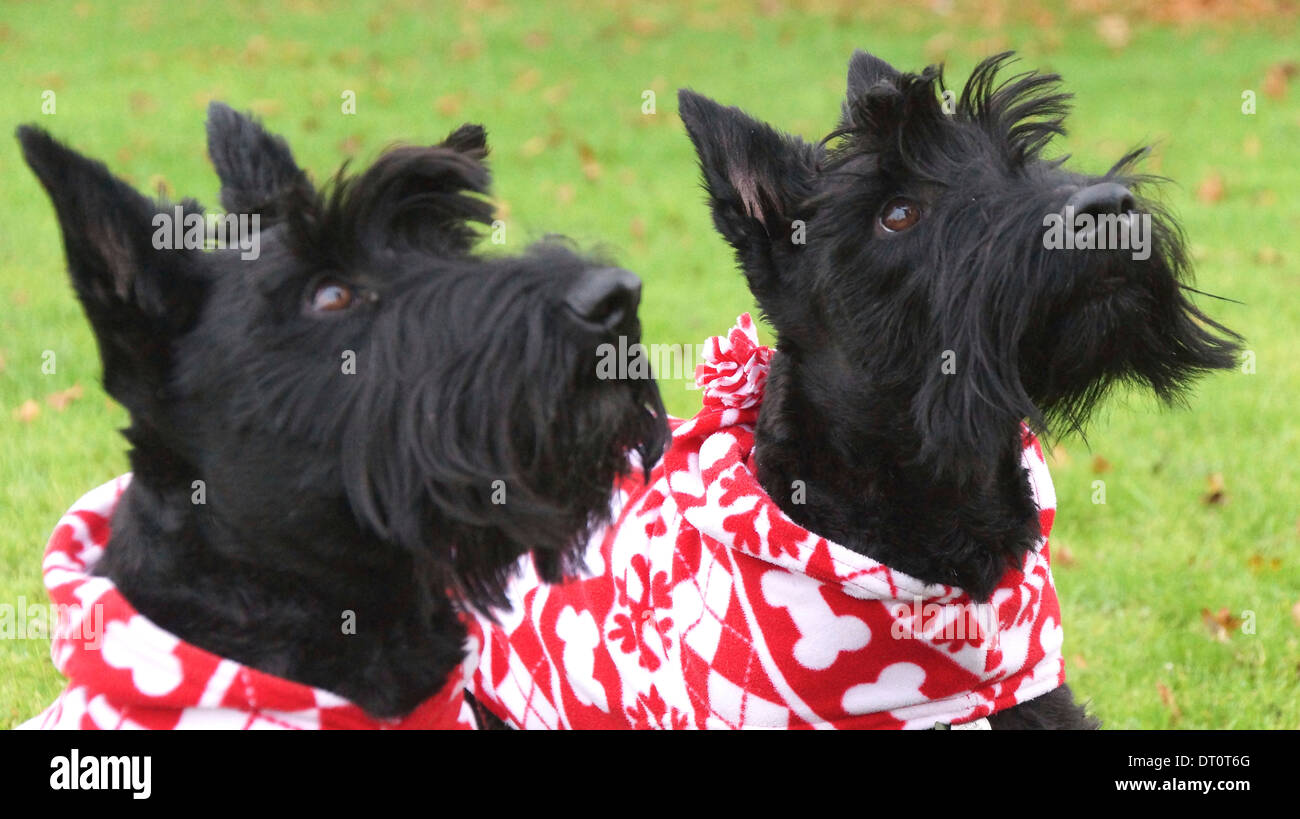Two Scottish Terriers proudly wearing their Christmas coats and waiting for a treat! - Stock Image