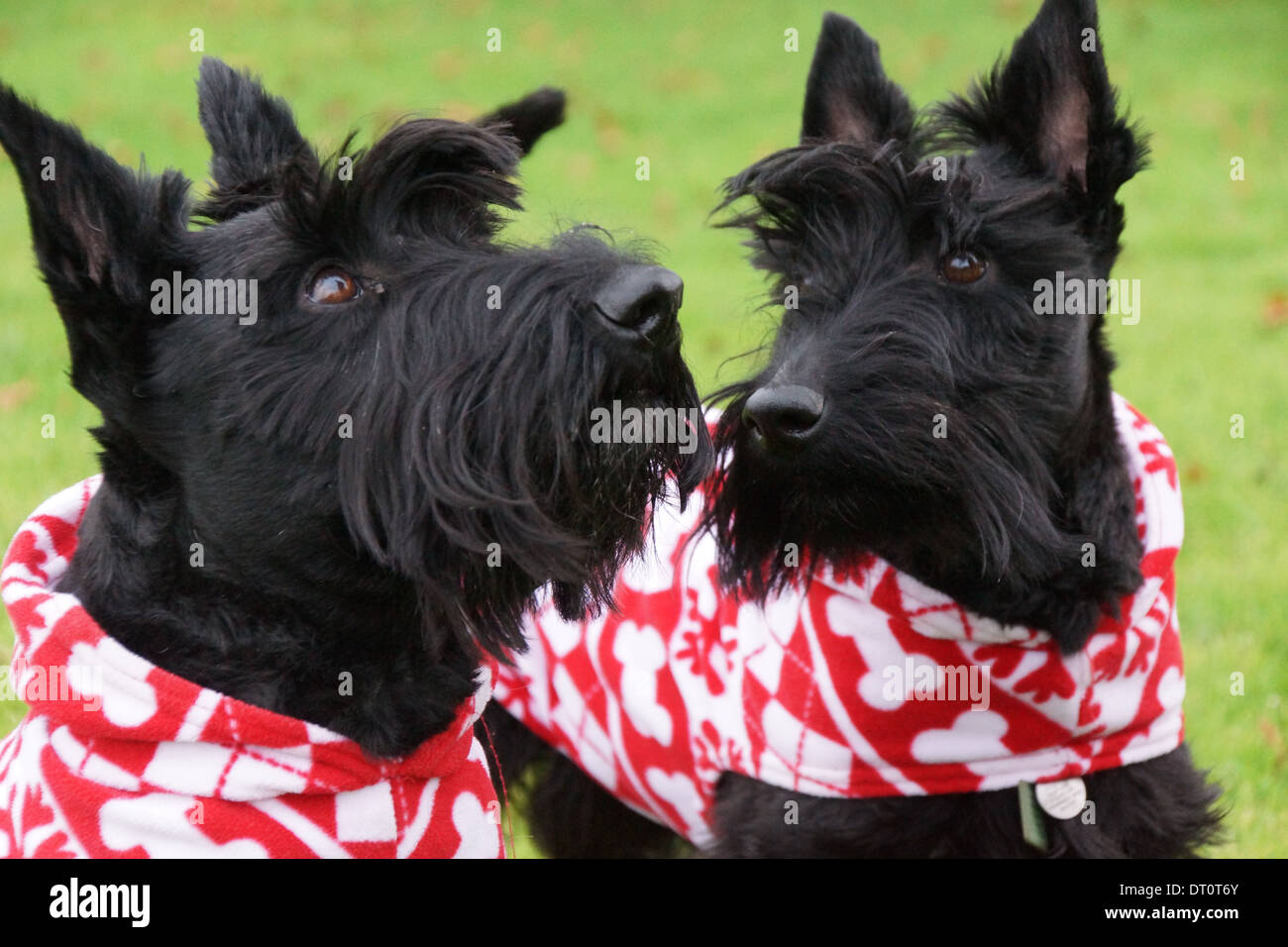 Two Scottish Terriers proudly wearing their Christmas coats - Stock Image