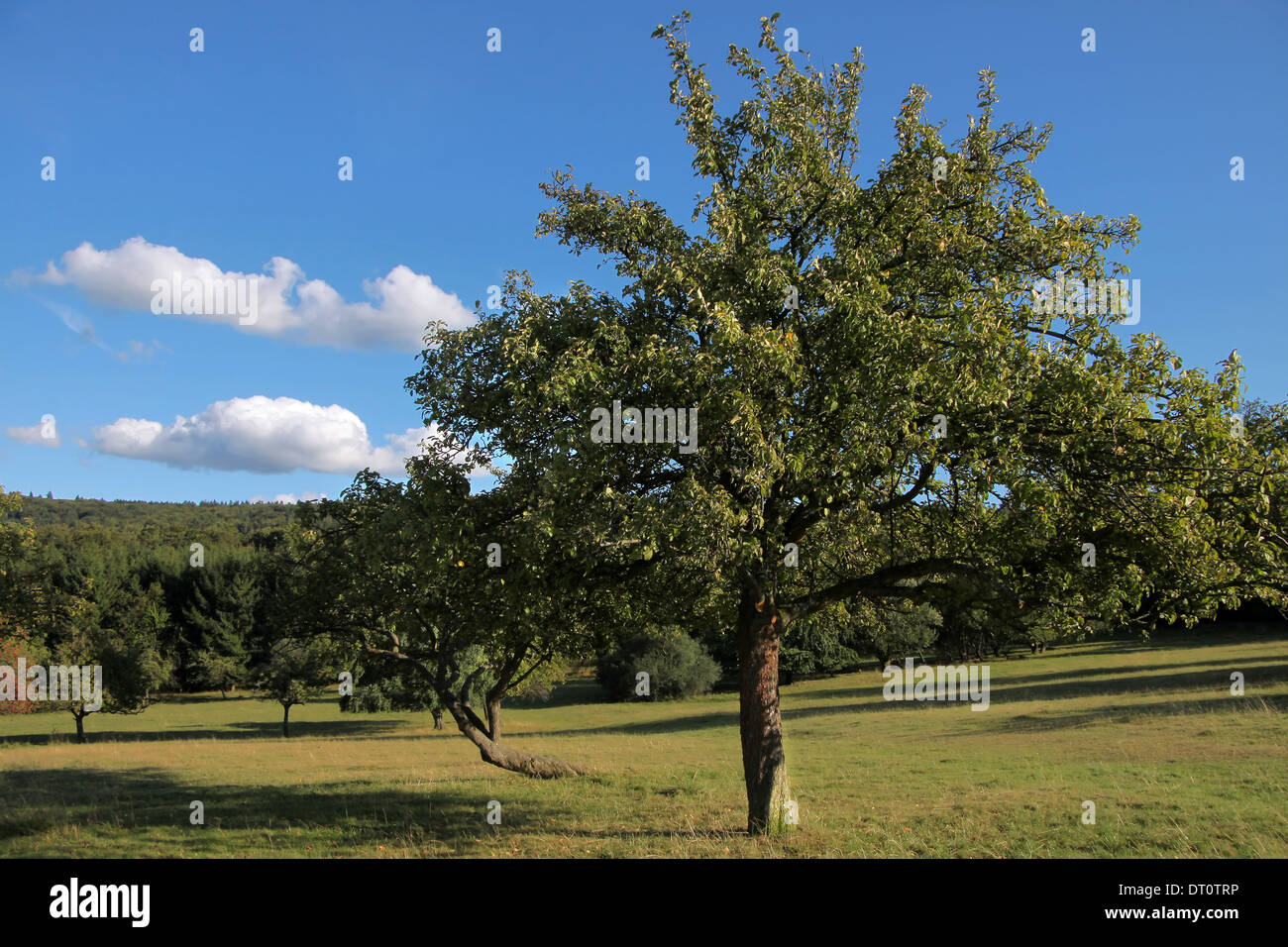 Old fruit tree in Orchard in summer time in Germany - Stock Image