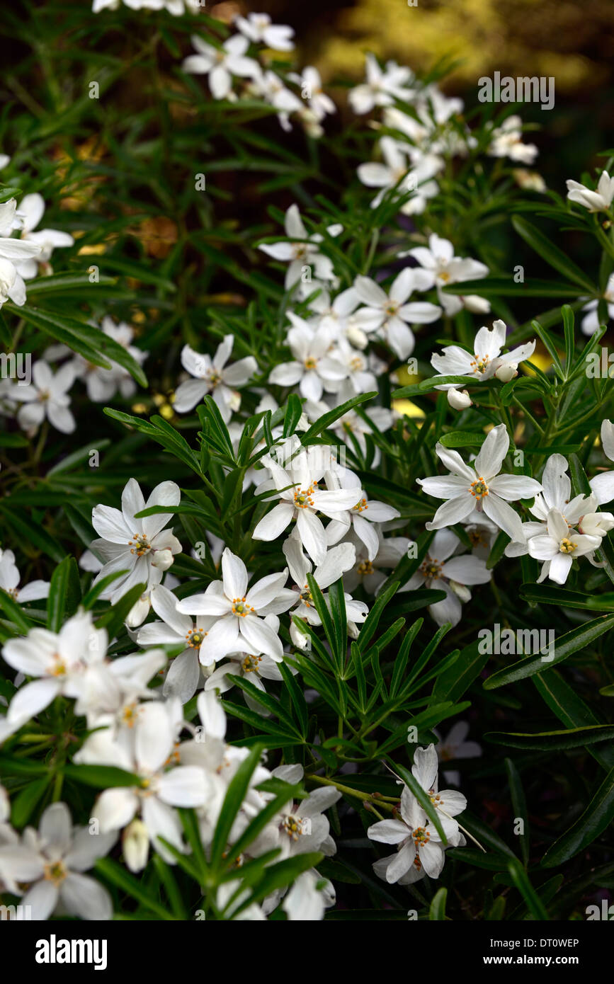 Choisya Ternata Aztec Pearl White Flowers Flowering Deciduous Shrubs