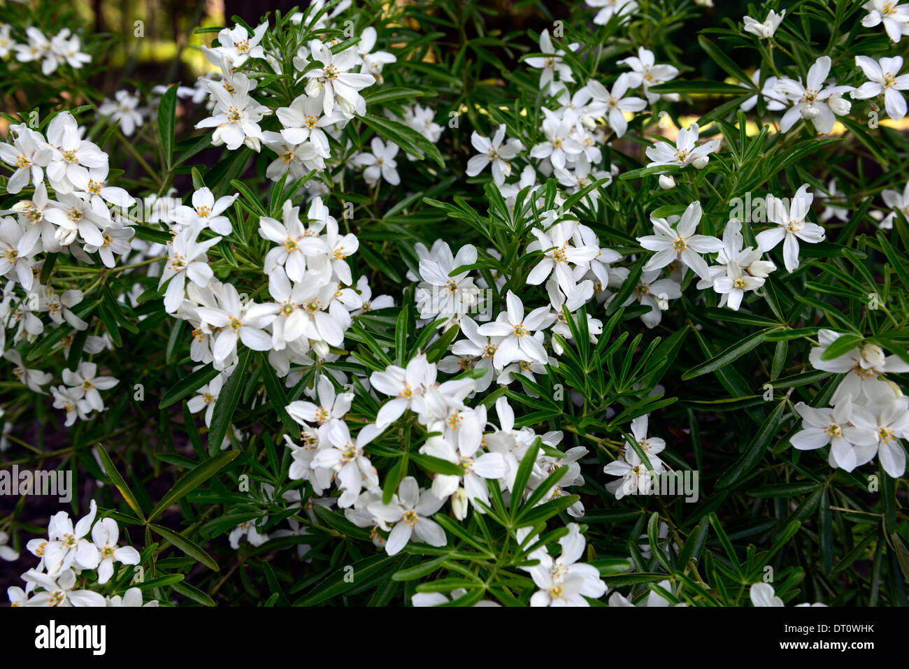 Pearl white stock photos pearl white stock images alamy choisya ternata aztec pearl white flowers flowering deciduous shrubs shrub scented fragrant stock image mightylinksfo