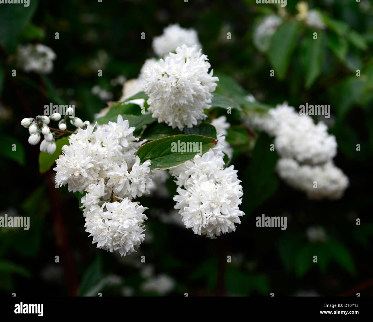Deutzia x magnifica white flowers flower flowering spring deciduous deutzia x magnifica white flowers flower flowering spring deciduous shrub shrubs green leaves foliage deutzias mightylinksfo