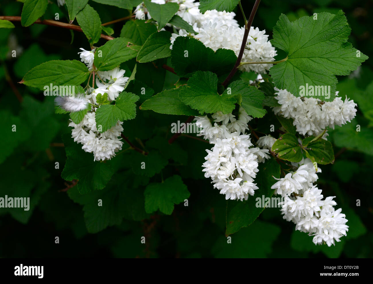 White Flowering Deutzia Shrub Stock Photos White Flowering Deutzia
