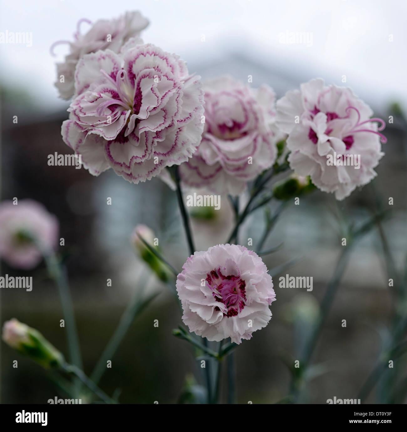 dianthus gran's favourite pink white flowers flower flowering carnations pinks sweet Williams - Stock Image
