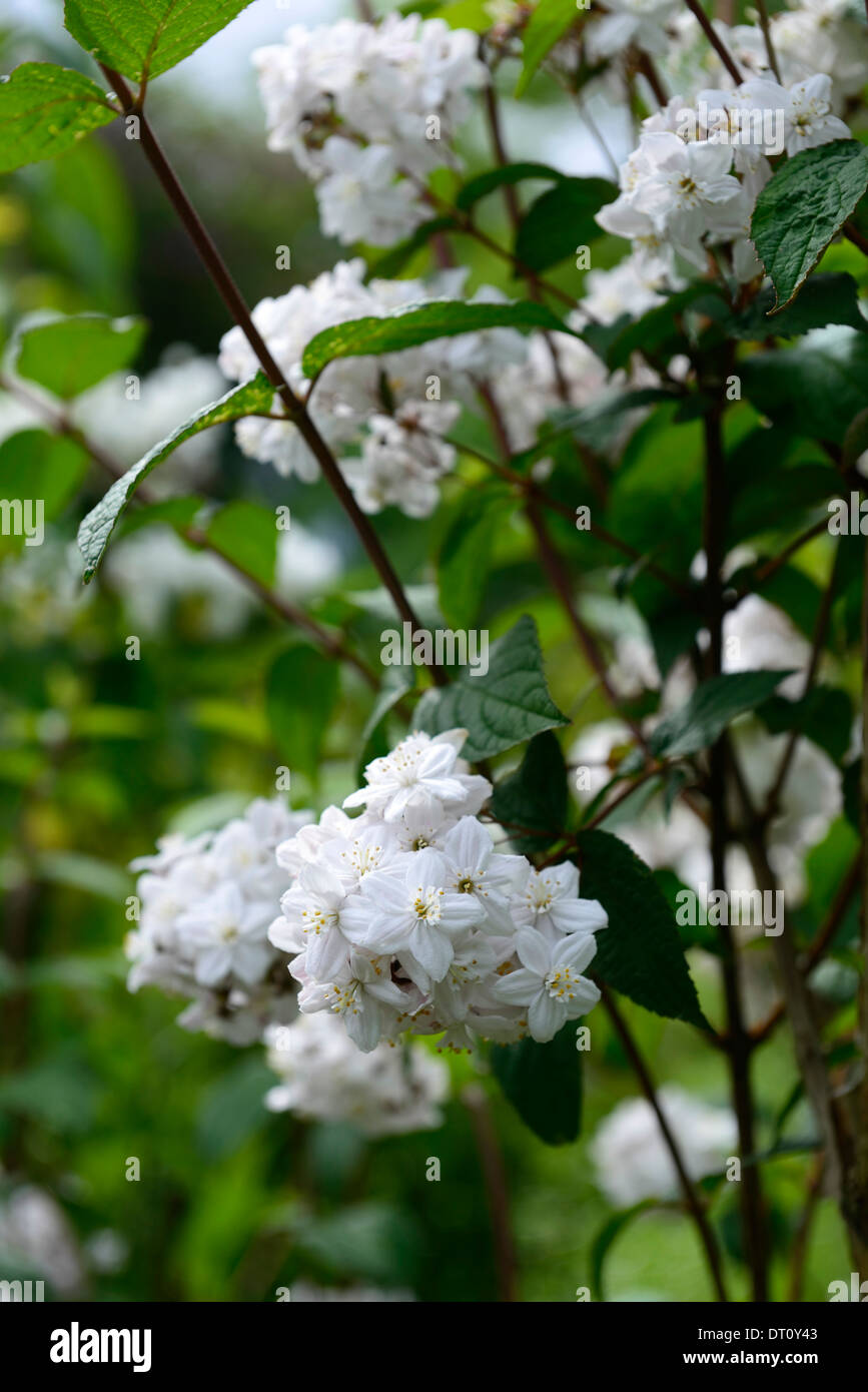 Deutzia White Flower Shrub Stock Photos Deutzia White Flower Shrub