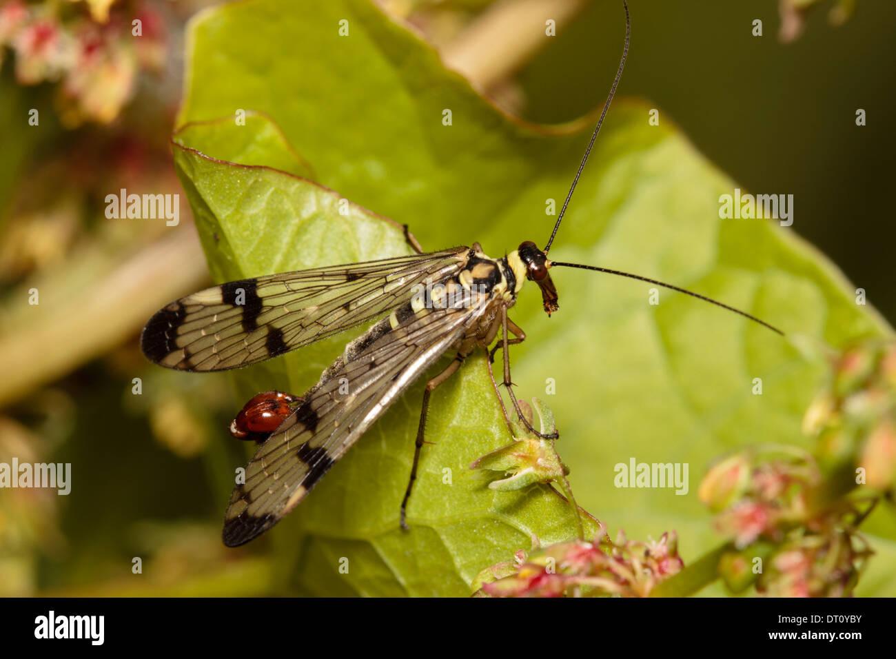 Male scorpion fly, Panorpa communis - Stock Image
