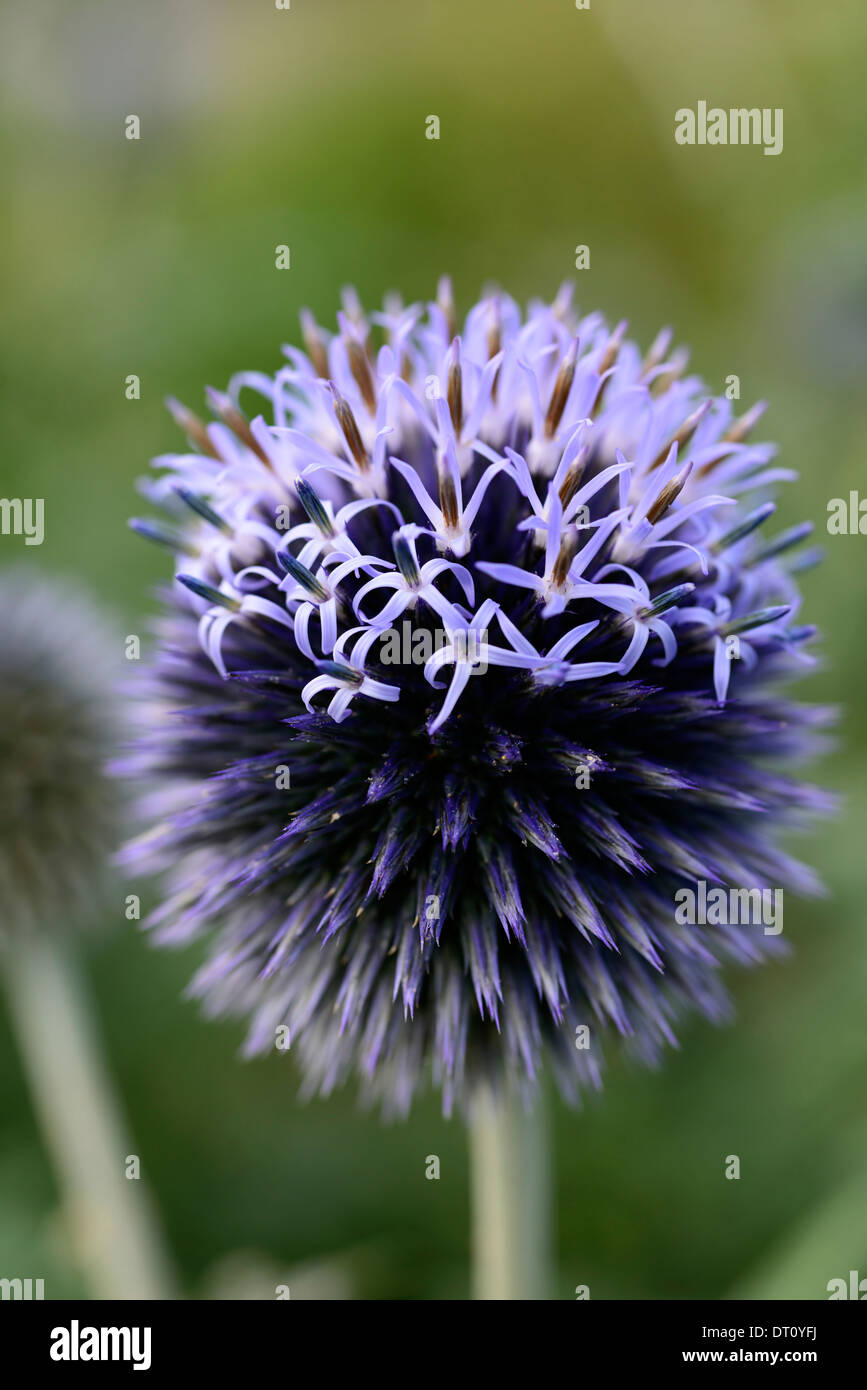 echinops ritro veitchs globe thistles blue thistle flowers plant portraits insects beneficial wildlife bees - Stock Image