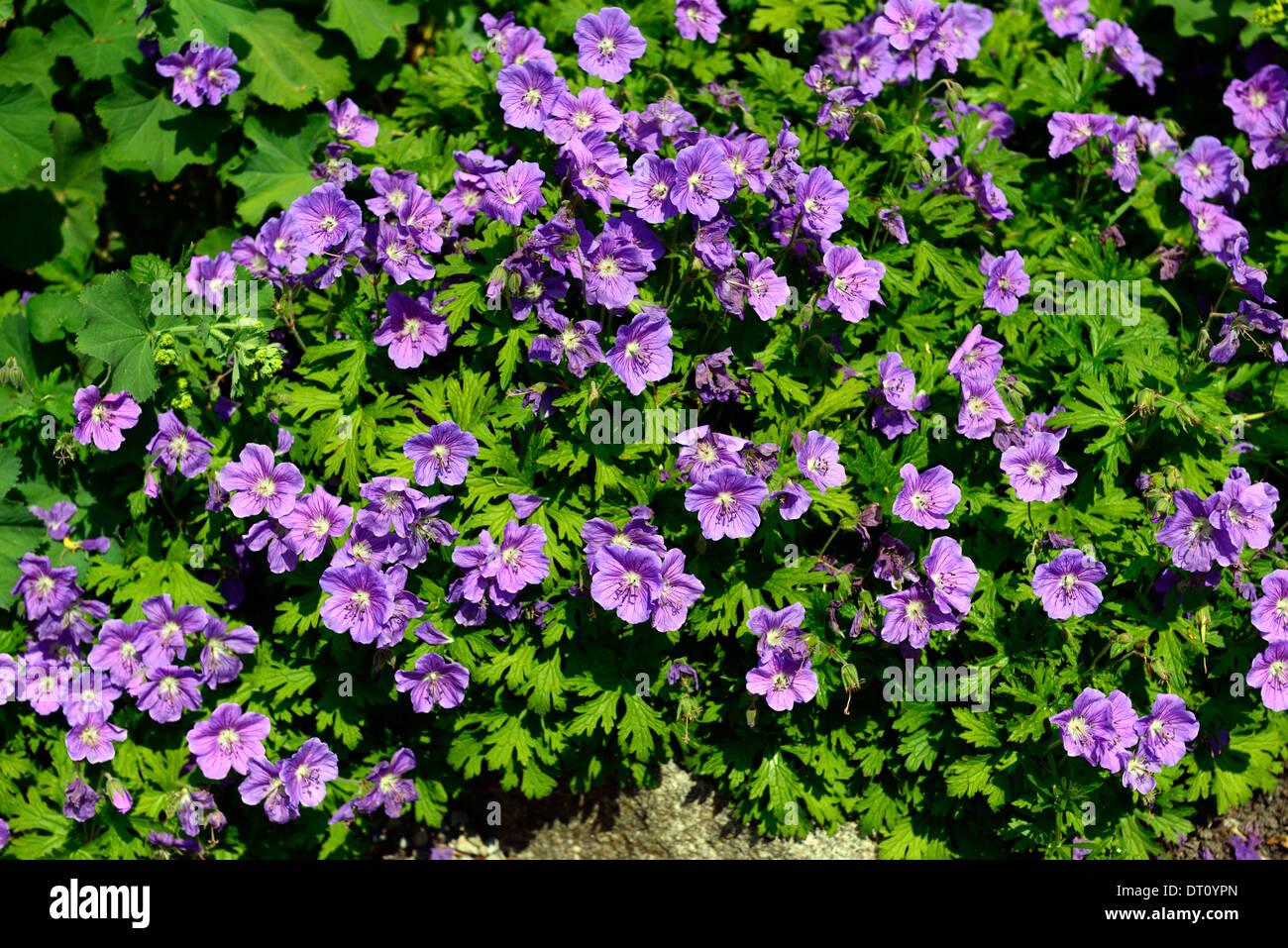 Geranium Purple Perennials Flowers Petals Plant Portraits