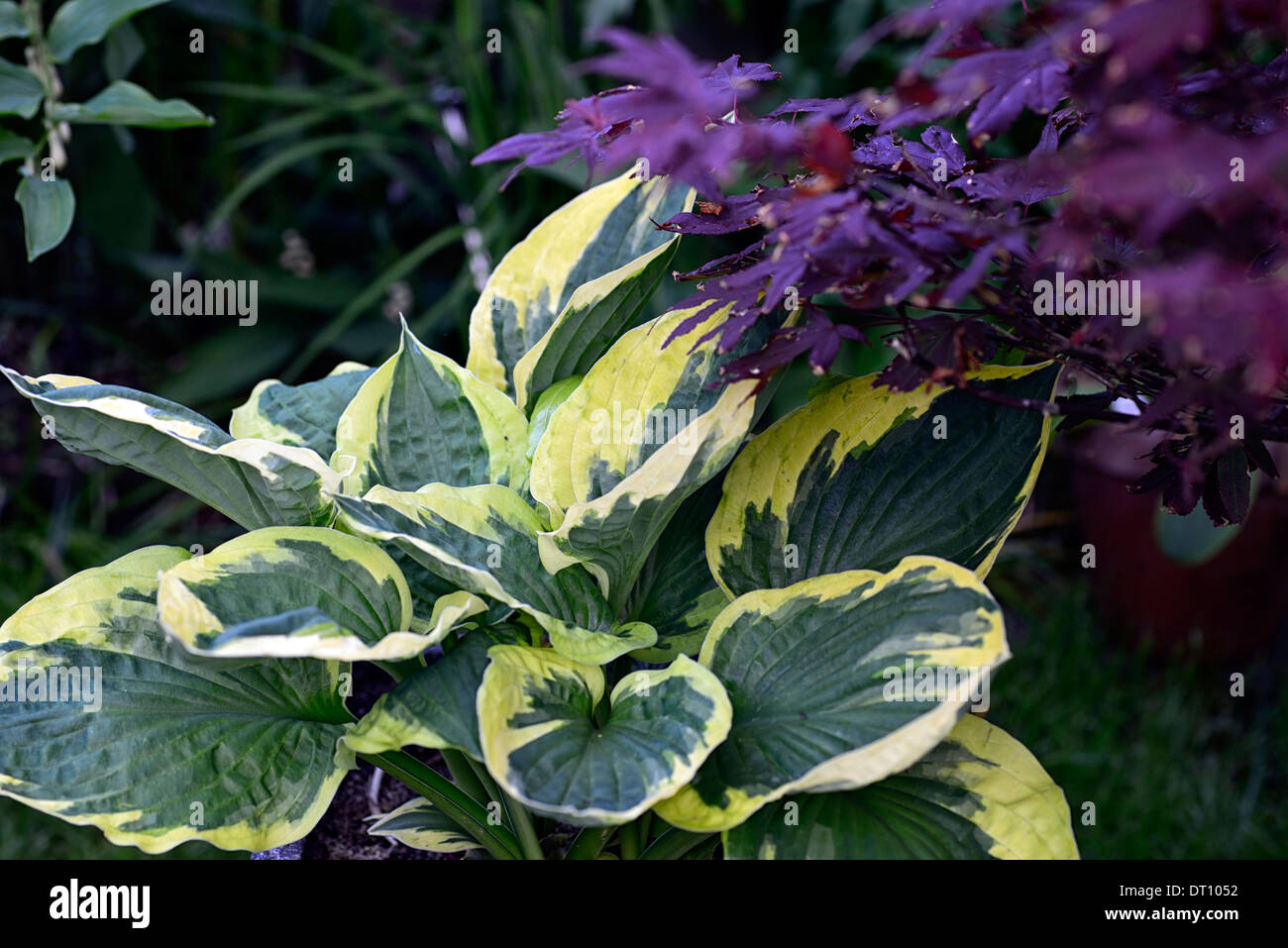 Hosta Fortunei Twilight Green Variegated Foliage Leaves Red Acer