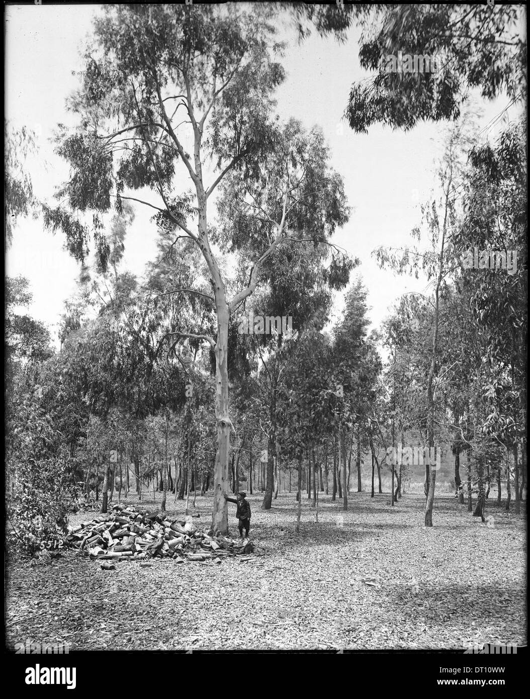 Eucalyptus trees, ca.1900 - Stock Image