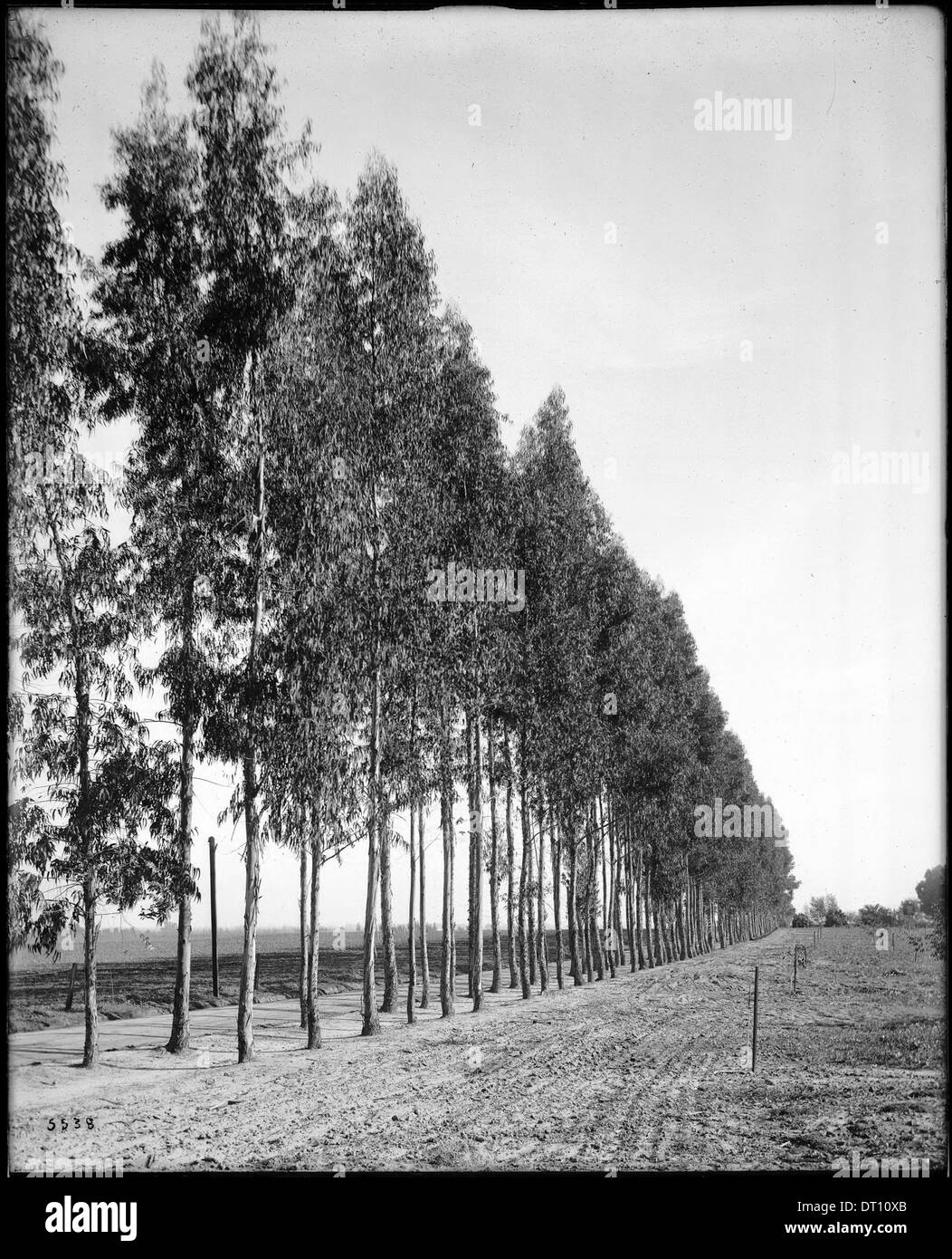 Eucalyptus tree grove, ca.1900 - Stock Image