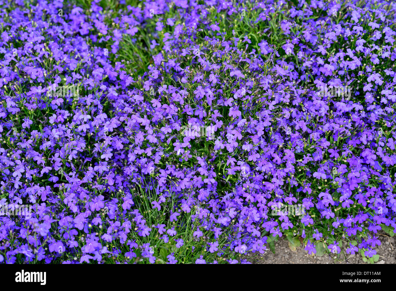 Lobelia Erinus Cobalt Blue Blue Purple Flowers Flowering Blooms