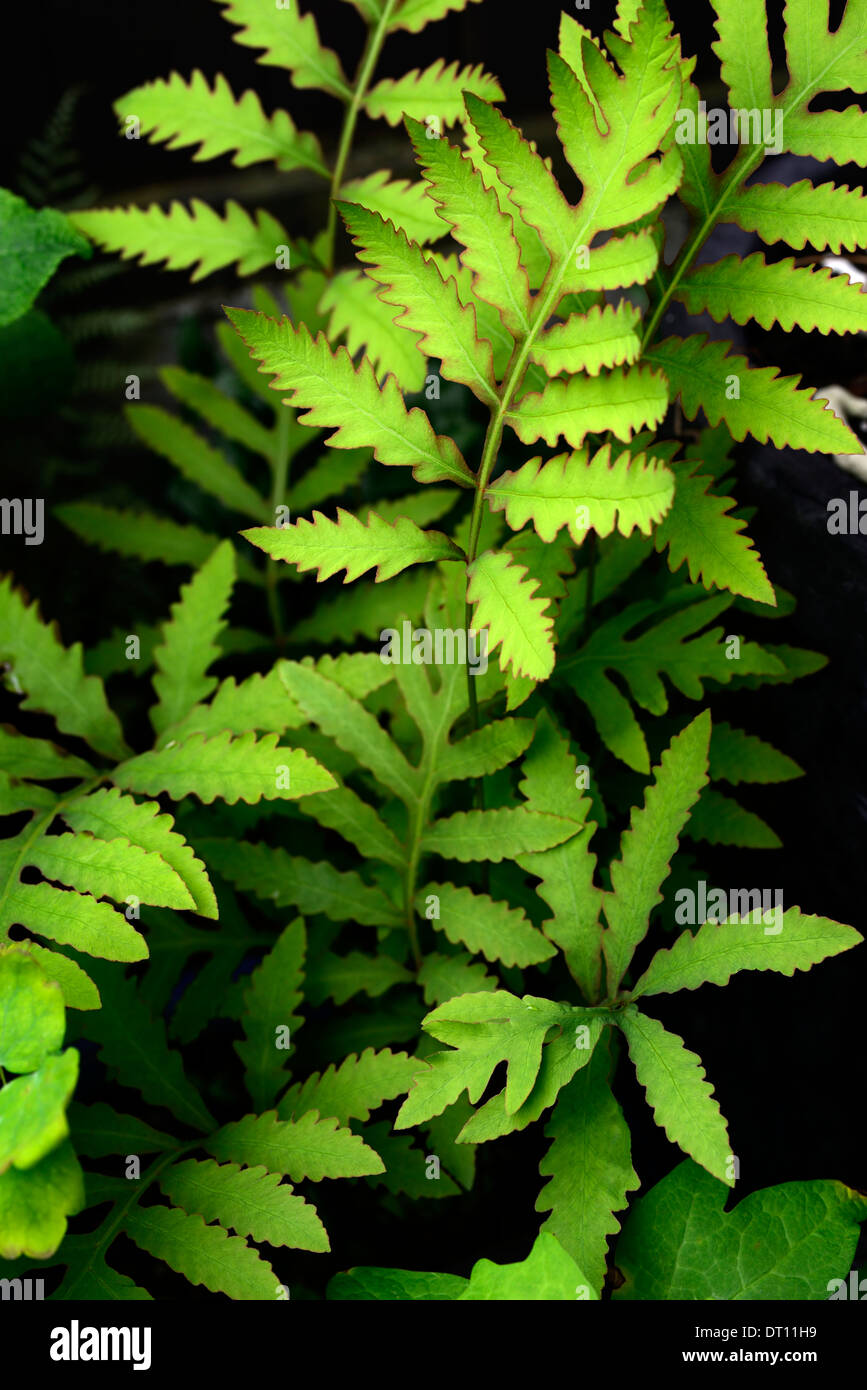 onoclea sensibilis sensitive fern bead fern perennial plant portraits green foliage leaves fronds - Stock Image