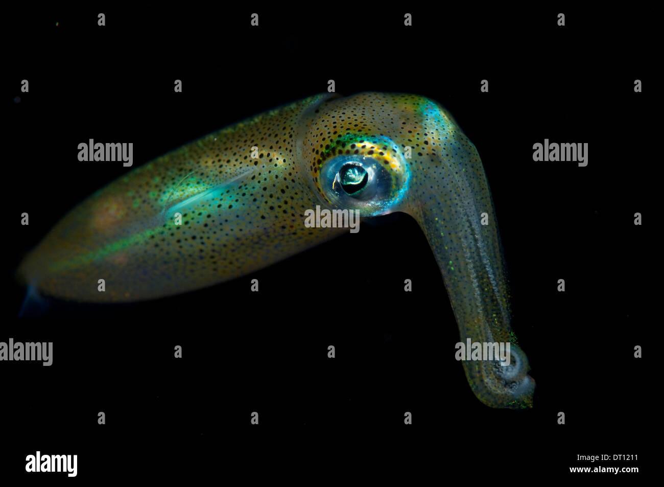 Juvenile Bigfin Reef Squid, Sepioteuthis lessoniana, indivdual portrait in black, Halmahera, Maluku Islands, Indonesia Stock Photo