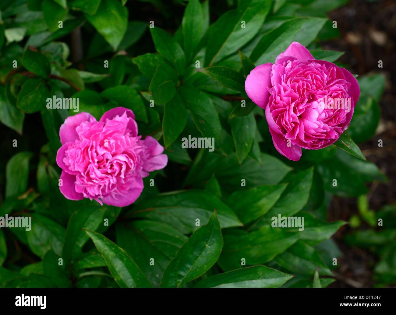 paeonia lactiflora lady alexandra duff peonies peony pink flower flowers perennial herbaceous - Stock Image