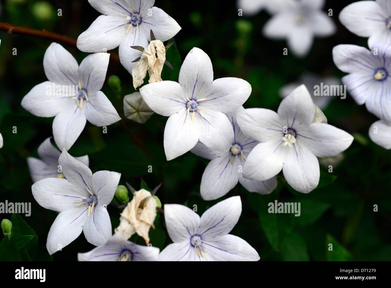 Platycodon Grandiflorus Alba White Balloon Flower Campanula Stock