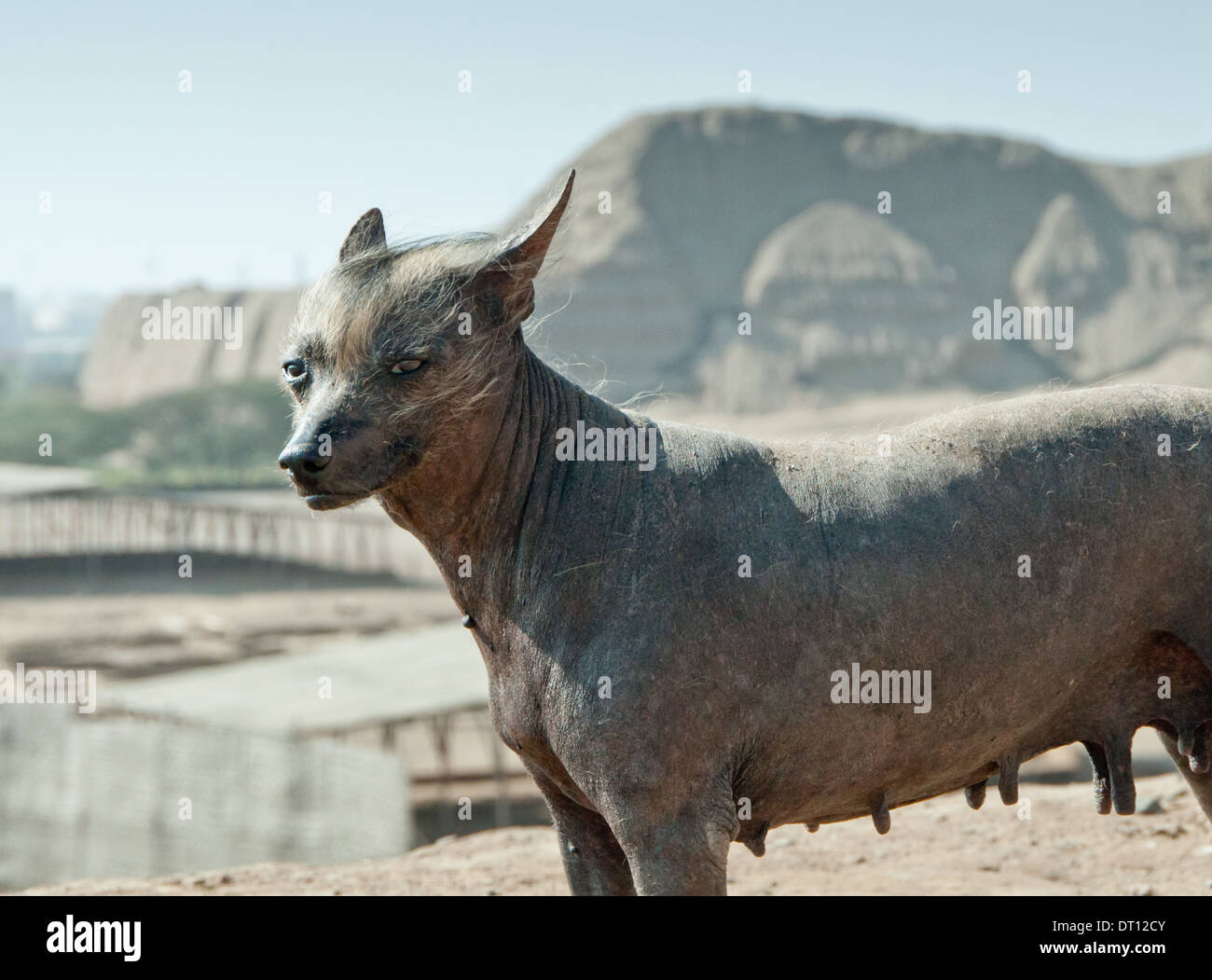 Perro Calato of the Huaca del Sol - the native Peruvian hairless dog - Viringo - Stock Image