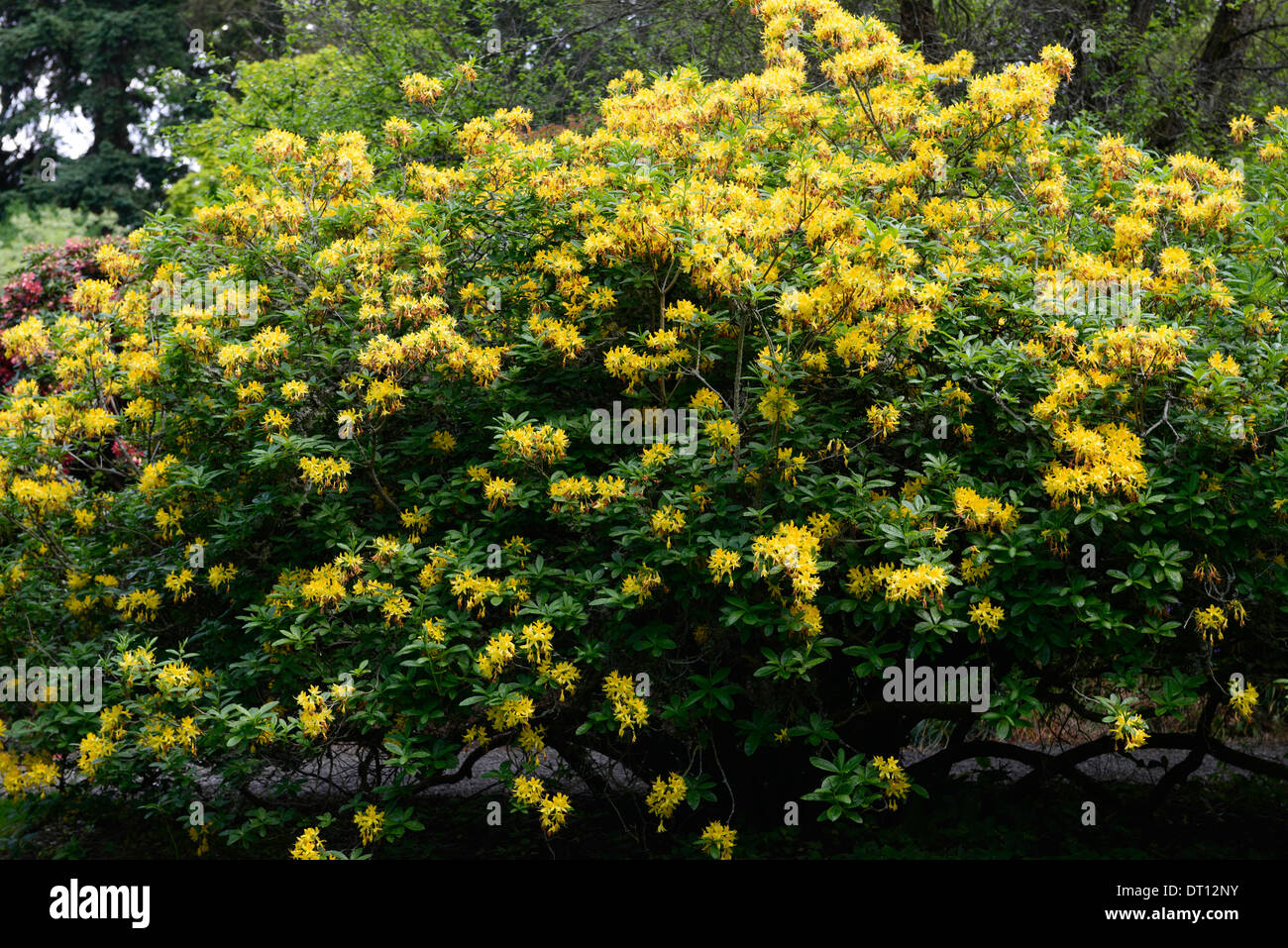 rhododendron luteum yellow azalea pontica rhododendrons shrubs yellow flowers flowering ericaceous tree shrub Stock Photo